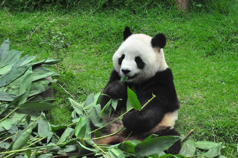 panda at Macau's Giant Panda Pavilion