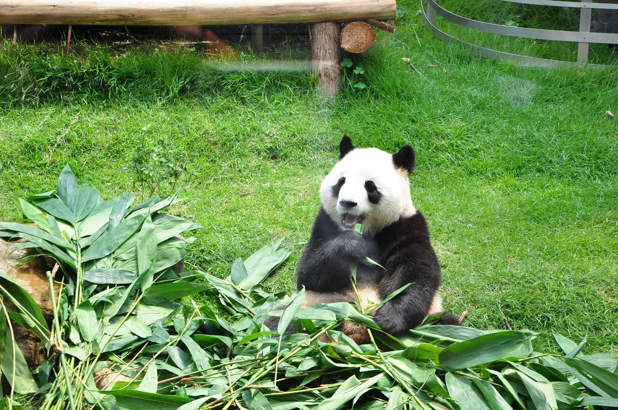 panda at Giant Panda Pavilion Macau