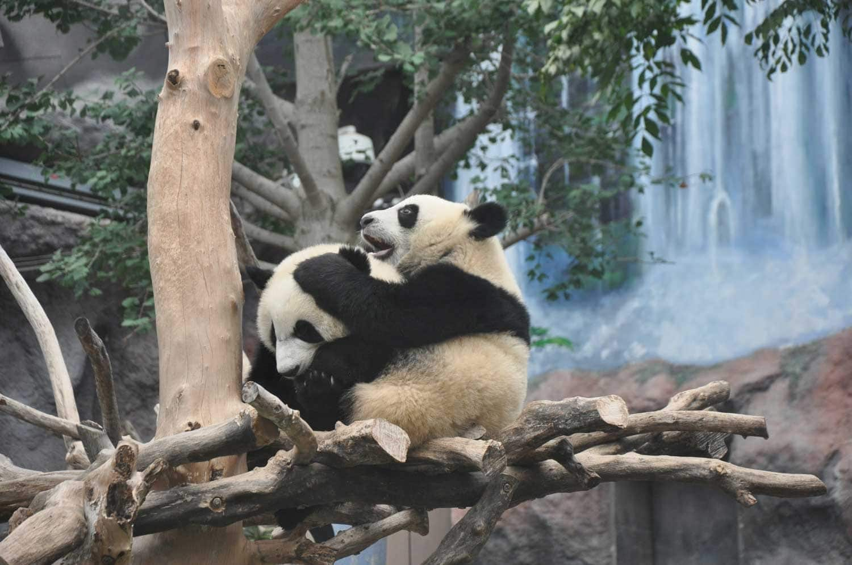 Baby Pandas at Macau's Giant Panda Pavilion