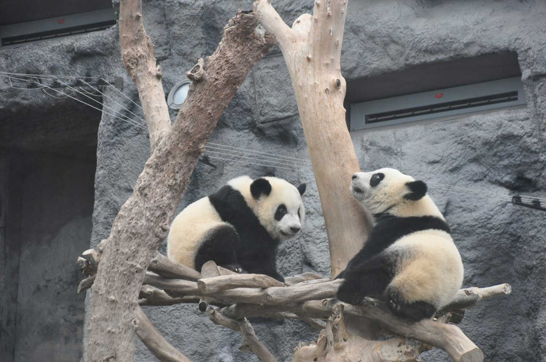 Saec Pai Van Park two pandas