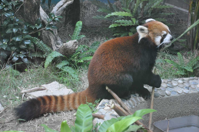 Saec Pai Van Park red panda