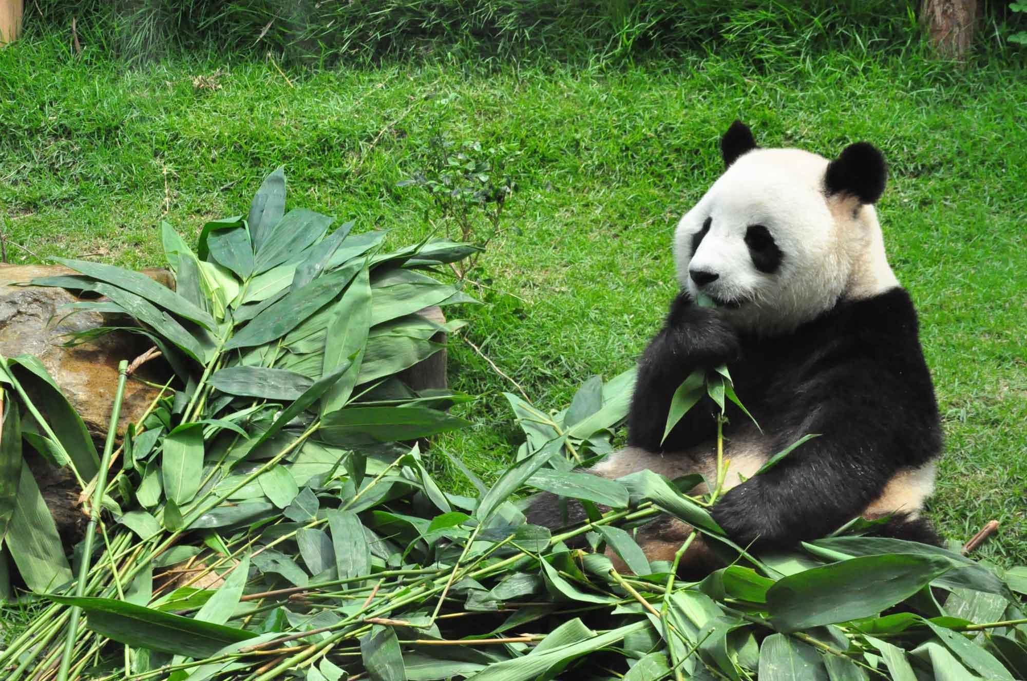 Saec Pai Van Park panda bear